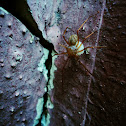 Araña escupidora