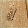Tropical Armyworm Moth, Oriental Leafworm Moth