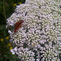 Common Red Soldier Beetle / Bonking Beetles