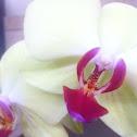 Yellow moth orchid