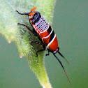 Austral Ellipsidion Cockroach nymph