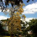 Guayacan amarillo