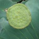 Lotus Flower Pod