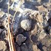 Brachiopod mold fossil