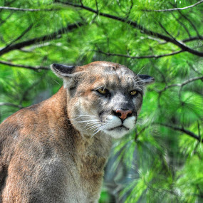Cougar in Camouflage by Skye Ryan-Evans - Animals Lions, Tigers & Big Cats ( big cat, animals, cougar, animal-lovers, cougar and branches, wildlife-supporters, catamount, wildlife, puma, mountain lion, camouflaged cougar,  )