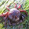 Southern Kelp Crab
