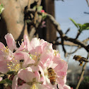 Honey Bee(s) Working on Apple Blossoms
