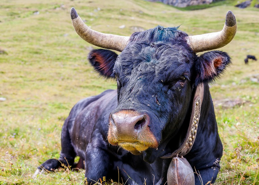 cow by Ennio Pozzetti - Animals Other Mammals ( cow, italy, rural,  )