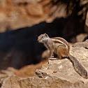 Ardilla moruna (Barbary ground squirrel)