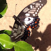 Dainty Swallowtail Butterfly, Dingy Swallowtail Butterfly, Small Citrus Butterfly.