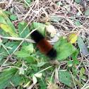 Woolly Bear Moth