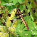 Twelve-spotted Skimmer Dragonfly (F)