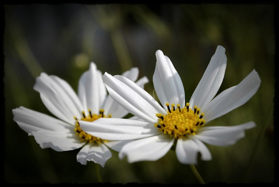 White by Crystal Ice - Flowers Flowers in the Wild ( white flower )