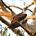 Aguia pescadora (Osprey)