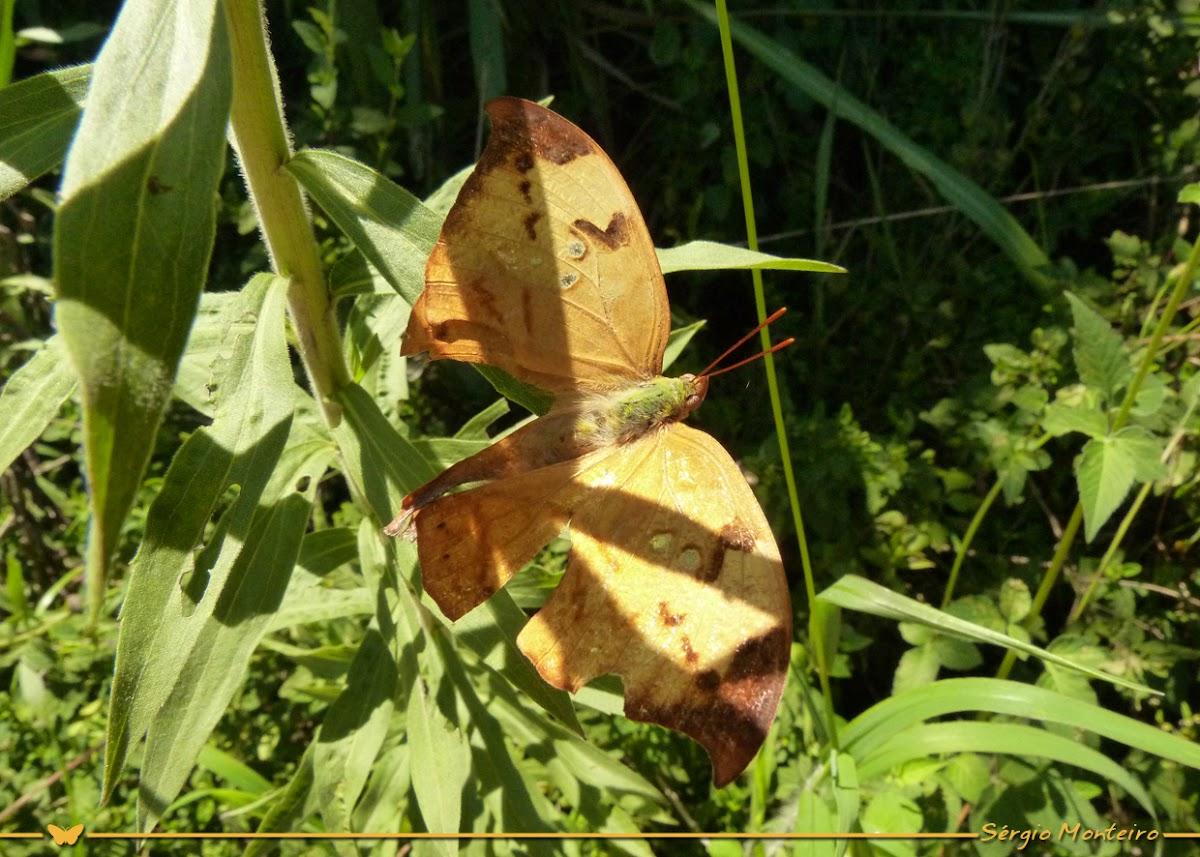 Zaretis Leafwing