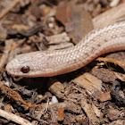 Lined snake (hypomelanistic)