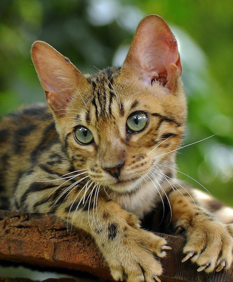 by Purnama Effendi - Animals - Cats Portraits ( bekasi, taman safari, cattery, travel, animal )
