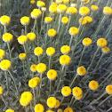 Cotton lavender