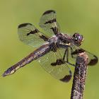 Twelve-spotted Skimmer (female)