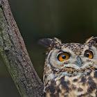 Cape Eagle-Owl
