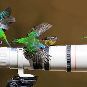 Open wings! by Itamar Campos - Animals Birds ( green-headed tanager female, blue dacnis female, saíra azul, saíra sete cores, bananaquit, cambacica, bird, fly, flight,  )