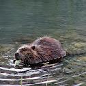 Alaska Beaver