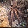 Australian whistling spider