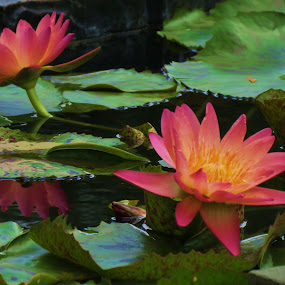 Pink Lily by Vijay Govender - Flowers Flower Gardens ( waterlily, park, gardens, flowers,  )