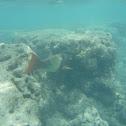red lip parrotfish
