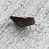 Carolina Locust (female)