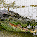 Indo-Pacific crocodile
