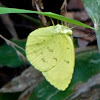 The Cloudless Sulphur