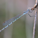 Ringtail Damselfly (female)