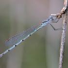 Ringtail Damselfly (female)