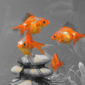 Focus on Orange by Alicia McNally - Animals Fish ( orange, fish, koi, goldfish )