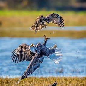 Defense by Gary Davenport - Animals Birds ( flight, eagle, red tail, bald, encounter, rth, hawk, bird, fly )
