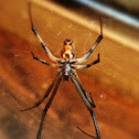 Black Widow (male)