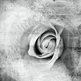 Plastered Rose by Jennifer van Niekerk - Illustration Flowers & Nature ( abstract, cotton, rose, cloth, black and white, edit, plaster )