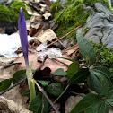 Spring crocus/Pomladni žafran