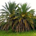 Ornamental Date Palm