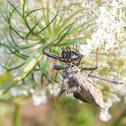 Wheel Bug (with prey)