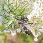 Wheel Bug (with prey)
