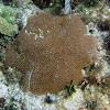 Lesser Starlet Coral