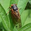 Cicada, adult