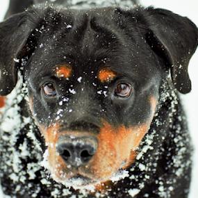 German Rottweiler - 1 by Denise Johnson - Animals - Dogs Portraits ( animals, winter, german rottweiler, dogs, cold, pet, snow, pets, dog, animal,  )