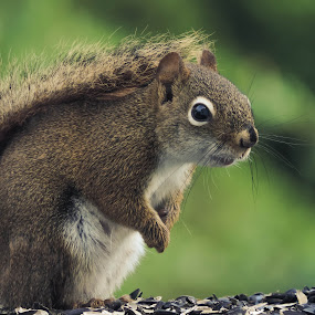 Simon the Squirrel by Tammy Drombolis - Animals Other Mammals (  )