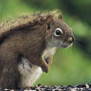 nikon squirrel 009.jpg
