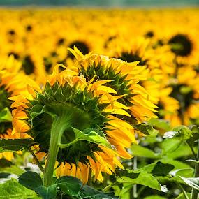 sunflowers in sun by Marjorie Speiser - Flowers Flower Gardens ( field, fresh, sunflowers, sun,  )