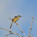 灰頭鷦鶯 / Yellow-bellied Prinia