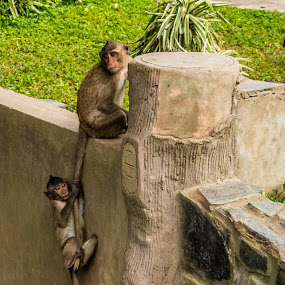@ by Wahan Shahbazian - Animals Other Mammals ( hanging, vietnam, tail, wall, monkey,  )